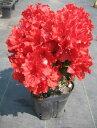 【送料無料】12本セットクルメツツジ(久留米ツツジ)太陽(タイヨウ)赤花一重約0.3m根鉢含む)