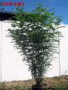 (根鉢含まず)樹高1.5m以上 シマトネリコ 株立 シンボルツリー 庭木 植木 常緑樹 常緑高木