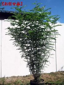 シマトネリコ 樹高1.5m以上(根鉢含まず) 株立 シンボルツリー 庭木 植木 常緑樹 常緑高木