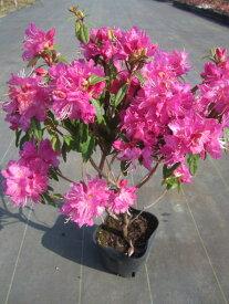 吉野ツツジ(ヨシノツツジ)ピンク花一重約0.3m(根鉢含む)