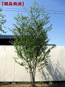 【現品発送】アカシデ(アカメソロ)株立 樹高2.3-2.4m(根鉢含まず)シンボルツリー 庭木 植木 落葉樹 落葉高木
