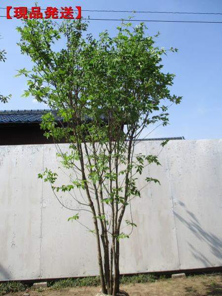 【現品発送】アオダモ株立 樹高1.9m-2.2m(根鉢含まず)【大型商品・配達日時指定不可】