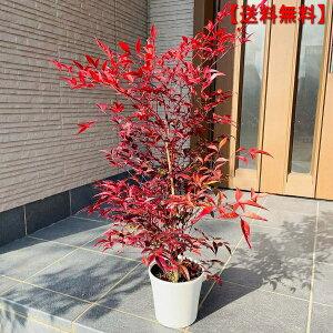 【送料無料】アカナンテン 赤南天5号 化粧鉢 鉢底から50cm前後 庭木 植木 常緑樹 常緑低木 鉢植え