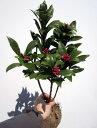 【送料無料】沈丁花(ジンチョウゲ) 赤 30cm前後(根鉢含まず) 花木 庭木 植木 常緑樹 常緑低木