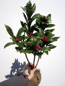沈丁花(ジンチョウゲ) 赤 30cm前後(根鉢含まず) 花木 庭木 植木 常緑樹 常緑低木【送料無料】