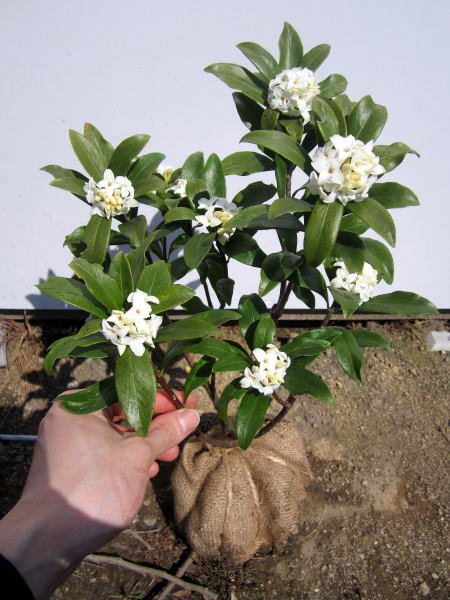 【送料無料】沈丁花(ジンチョウゲ) 白25cm前後(根鉢含む)