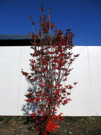 【現品発送】口紅サラサドウダンツツジ(口紅更紗)樹高1.1-1.5m(根鉢含まず)