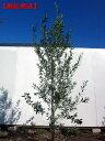 【現品発送】オリーブの木(アルベキナ)豊作品種! 樹高2.1-2.3m(根鉢含まず)