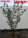 【送料無料】マルバノキ樹高1.5m前後(根鉢含まず) 花木 庭木 植木 落葉樹 落葉低木