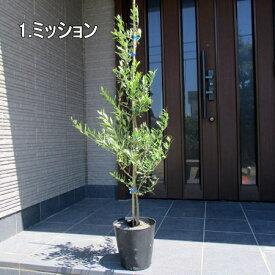 【送料無料】【選べる7品種】オリーブの木鉢植え特大7号ポット(21cmポット) 1m前後(根鉢含まず)【翌日発送可】【母の日】【ははのひ】【ギフト】【記念樹】【新築祝い】
