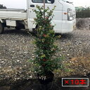 【送料無料】10本セット トキワマンサク(青葉白花常盤満作)6号ポット 樹高0.8m以上(根鉢含まず)