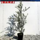 【現品発送】オリーブの木(ミッション) 樹高1.3-1.4m(根鉢含まず)8号ビニルポット