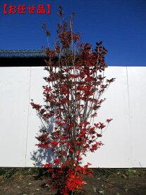 [8月25日以降発送予定/予約商品] ベニドウダンツツジ(紅満天星)樹高1.2m以上(根鉢含まず) 紅ドウダン 花木 庭木 植木 落葉樹 落葉低木 紅葉