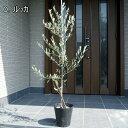 【送料無料】【選べる品種】オリーブの木鉢植え特大7号ポット(21cmポット) 80cm前後(根鉢含まず)【翌日発送可】【母…