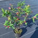 【送料無料】でかい赤花沈丁花(ジンチョウゲ) 50cm前後(根鉢含まず) 花木 庭木 植木 常緑樹 常緑低木