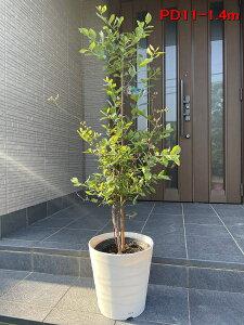 【現品発送】特大ブルーベリー パウダーブルー 8号 樹高1.3-1.6m(鉢底から) ラビットアイ系 化粧鉢 果樹苗 植木 落葉樹  鉢植え【送料無料】