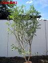【現品発送】最も甘い!ブルーベリーフェスティバル樹高1.7-1.8m(ラビットアイ系) 果樹苗 シンボルツリー 庭木 …
