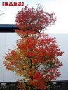 【現品発送】でかい!ドウダンツツジ樹高1.7-2.0m(根鉢含まず) 花木 庭木 植木 落葉樹 落葉低木
