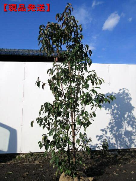 【現品発送】常緑ヤマボウシ「月光」株立 樹高1.7-2.1m(根鉢含まず)【大型商品・配達日時指定不可】