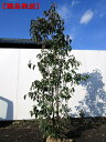 【現品発送】常緑ヤマボウシ「月光」本株立 樹高1.6m-1.9m(根鉢含まず)【大型商品・配達日時指定不可】
