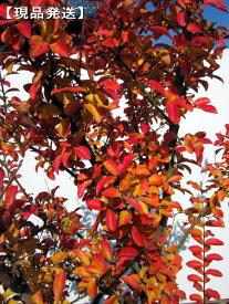 【現品発送】サルスベリ(百日紅)ナチェ(白花)樹高2.0-2.2m(根鉢含まず)【大型商品・配達日時指定不可】