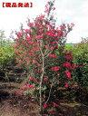 【現品発送】サルスベリ(百日紅) タスカローラ(赤花)樹高2.2-2.3m(根鉢含まず)