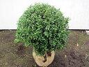 でかい!2本セット マメツゲ(玉仕立て)樹高約50cm 幅50cm(根鉢含まず)【送料無料】