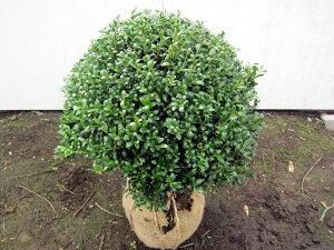 でかい!2本セット マメツゲ(玉仕立て)樹高50cm前後 幅50cm前後(根鉢含まず)【送料無料】庭木 植木 常緑樹 常緑低木
