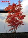 【現品発送】コハウチワカエデ株立 樹高1.7-2.0m(根鉢含まず)シンボルツリー 庭木 植木 落葉樹 落葉高木