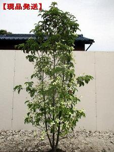 【現品発送】常緑ヤマボウシ「月光」株立 樹高1.8-2.0m根鉢含まず)シンボルツリー 庭木 植木 常緑樹 常緑高木