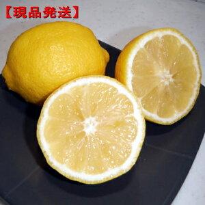 【現品発送】特大レモンの木 アレンユーレカ樹高1.6m-2.0m(根鉢含まず) 果樹苗 シンボルツリー 庭木 植木 常緑樹 常緑高木