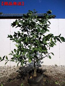 【現品発送】特大レモンの木 マイヤーレモン樹高1.3m-1.6m(根鉢含まず) 果樹苗 シンボルツリー 庭木 植木 常緑樹 常緑高木