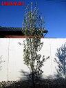 【現品発送】オリーブ(ミッション)樹高2.1−2.4m(根鉢含まず)シンボルツリー 庭木 植木 常緑樹 常緑高木