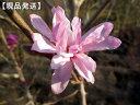 【現品発送】シデコブシ(ヒメコブシ) ピンク花樹高1.8m−2.1m(根鉢含まず) シンボルツリー 庭木 植木 落葉樹 落…