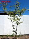 【現品発送】ナツハゼ樹高1.7-1.8m(根鉢含まず)【大型商品・配達日時指定不可】