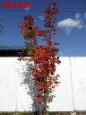 【現品発送】メグスリノキ(目薬の木)株立 樹高2.2-2.6m(根鉢含まず) シンボルツリー 庭木 植木 落葉樹 落葉…