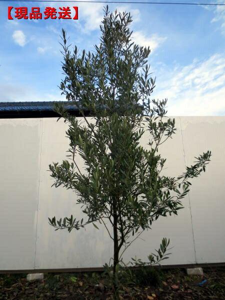 【現品発送】オリーブの木(アルベキナ)樹高オ2.2m-2.5m(根鉢含まず)