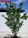 【現品発送】マルバノキ樹高1.5m-1.8m(根鉢含まず)  庭木 植木 落葉樹 落葉低木