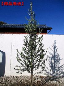 [8月25日以降発送予定/予約商品] 【現品発送】オリーブの木(アルベキナ)樹高2.1m-2.7m(根鉢含まず) シンボルツリー 庭木 植木 常緑樹 常緑高木