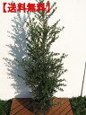 【送料無料】4本セット!!新芽が金色に輝くキンメツゲ 樹高1.0m(根鉢含まず)