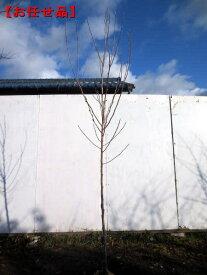 シデコブシ(ヒメコブシ) ピンク花樹高2.0m前後(根鉢含まず)【大型商品・配達日時指定不可】
