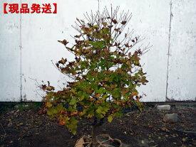 【現品発送】シロヤシオ(ゴヨウツツジ、ヤシオツツジ)樹高0.5m-0.6m(根鉢含まず)