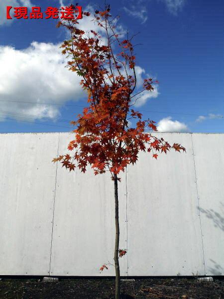 【現品発送】コハウチワカエデ 樹高2.0-2.7m(根鉢含まず)【大型商品・配達日時指定不可】