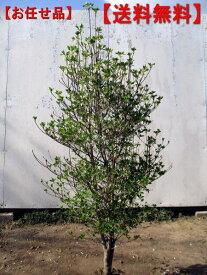 【送料無料】ドウダンツツジ樹高1.0m(根鉢含まず)