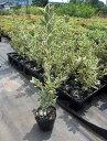【送料無料】20本セット キンマサキ(フイリマサキ)樹高0.8m以上(根鉢含まず) 生垣用