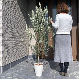【現品発送】オリーブの木 樹高0.9m-1.6m(根鉢含まず)7号化粧鉢 シンボルツリー 植木 常緑樹 常緑高木 鉢植え 観葉植物【送料無料】
