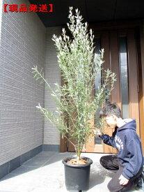 【現品発送】オリーブの木(チプレシーノ) 10号鉢 樹高1.7-2.1m(鉢底から)シンボルツリー 庭木 植木 常緑樹 常緑高木【送料無料】