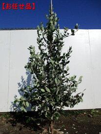 フェイジョア 選べる品種樹高1.5m前後(根鉢含まず)果樹苗 シンボルツリー 庭木 植木 常緑樹 常緑高木【送料無料】