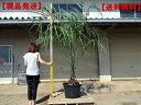 【現品発送】ココスヤシ 樹高2.0m前後(根鉢含まず)シンボルツリー ヤシの木 ヤシノキ 庭木 植木 常緑樹 常緑高木 南国…
