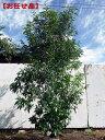 株立!シラカシ(白樫)樹高2.5m(根鉢含まず)【大型商品・配達日時指定不可】